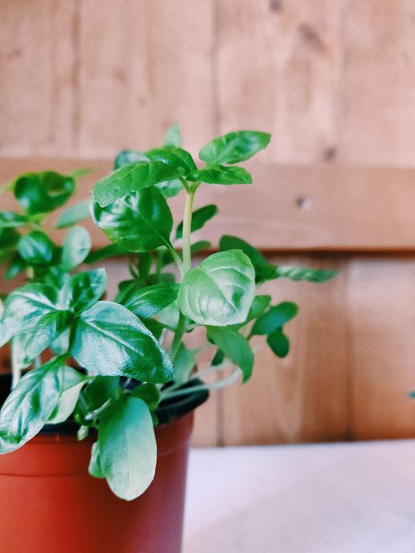 Growing Organic Basil