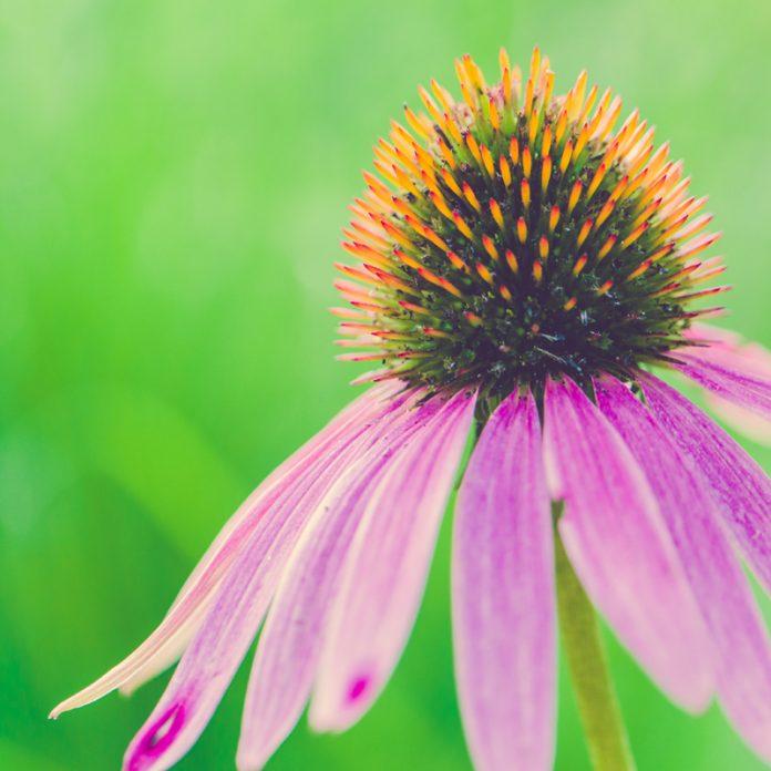 Herbal Virus Killer - Echinacea