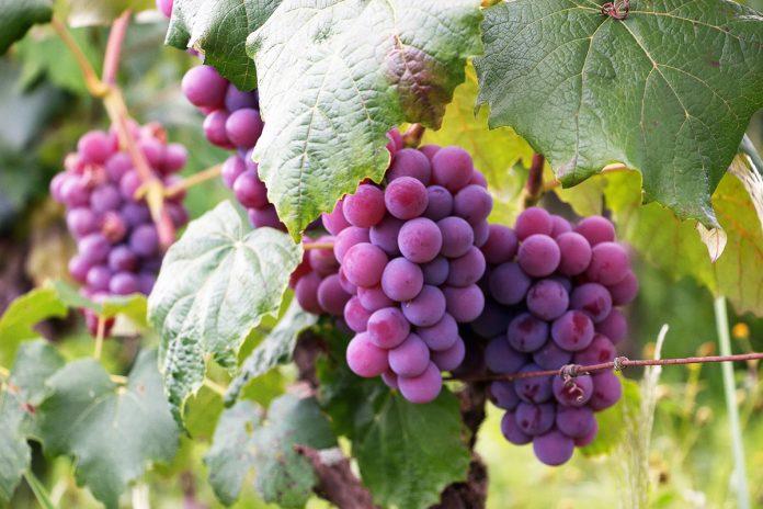 Grape Planting Insights