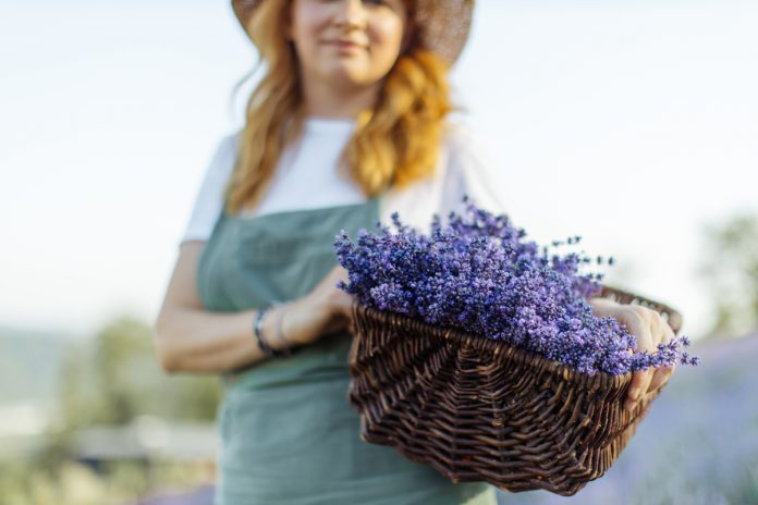 The Lavender Lady