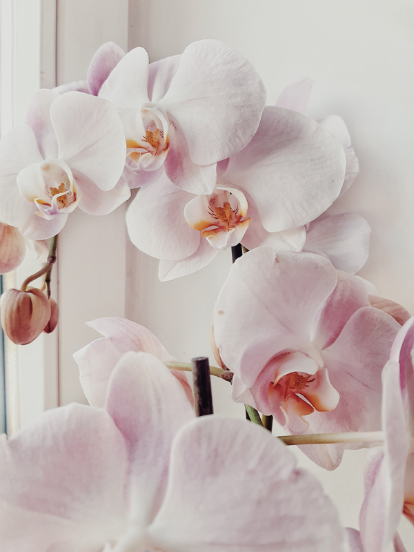 Phalaenopsis Orchid Growing Care Tips