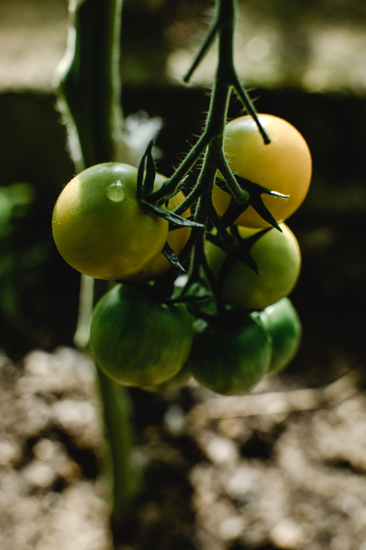 Secret for Growing Lots of Healthy Tomatoes