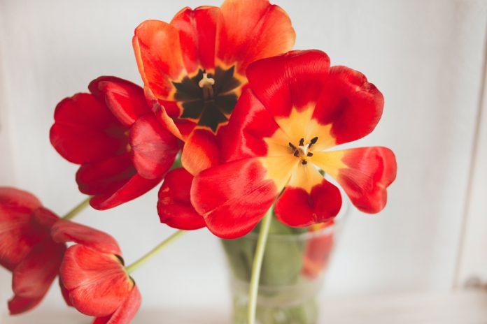 Tulip Bulbs Problems