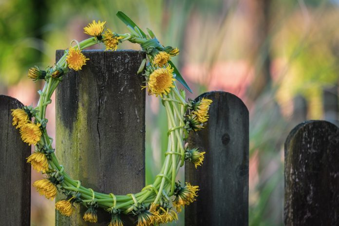 Dandelion: A Herbal Medicinal Plant Not Just a Weed