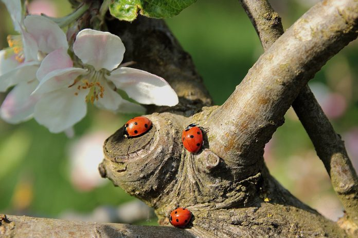 Luring Ladybugs into Your Garden