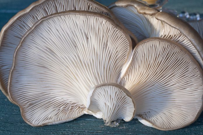 How to Make $60,000 Yearly Growing Gourmet Oyster Mushrooms