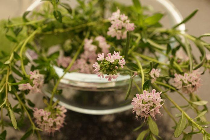 Herb Garden Plants - Thyme