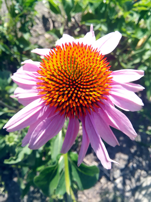 Echinacea: Over 250 Years of Medical Use