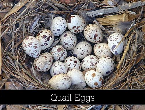 quail-eggs-Alstrupjohn-1