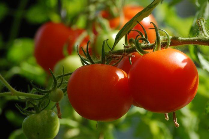 How to Grow Heirloom Tomatoes