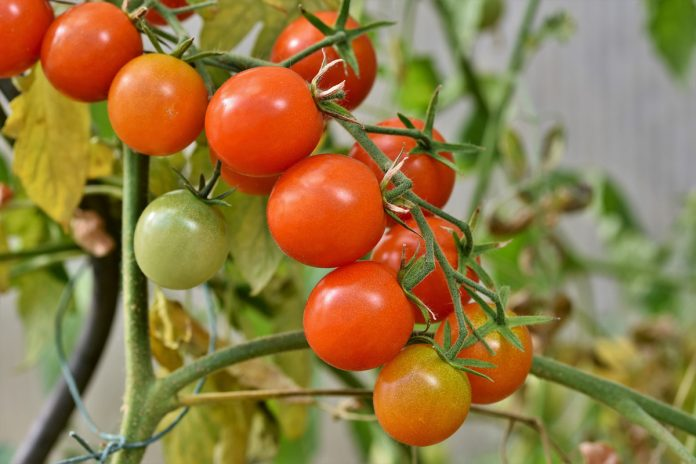 Pruning Tomato Plants - A