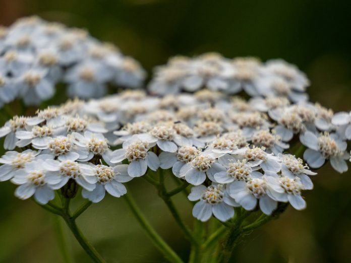 Herbal Remedies - Yarrow, Good for The Blood