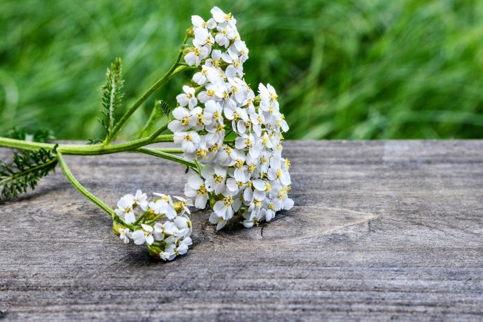 Yarrow - Nature's First Aid Kit